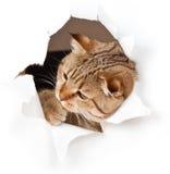 Kot w papier strona drzejącej dziurze Zdjęcia Royalty Free