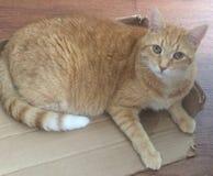Kot w pudełku Obrazy Stock