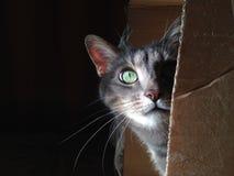 Kot w pudełku Zdjęcie Royalty Free
