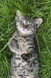 Kot w trawie Zdjęcie Royalty Free