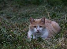 Kot w trawie Zdjęcia Royalty Free