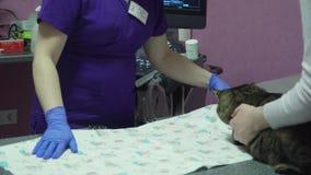 Kot w weterynaryjnej klinice na ultradźwięku egzaminie zbiory wideo
