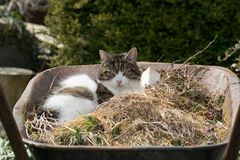 Kot w wheelbarrow zdjęcia royalty free