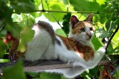 Kot w winogradzie 1 Zdjęcia Stock