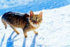 Kot w zima krajobrazie Kontakt wzrokowy i biały tło fotografia stock