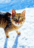 Kot w zima krajobrazie Kontakt wzrokowy i biały tło fotografia royalty free