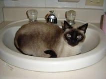 Kot w zlew blueeyed zdjęcie royalty free