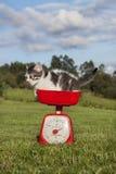 Kot wewnątrz waży Zdjęcie Royalty Free