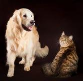 Kot wpólnie i pies, siberian figlarka, złota Obrazy Royalty Free