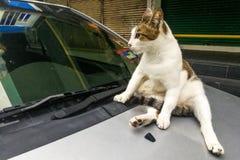 Kot wspinaczka na samochodzie może uszkadzać farbę z łapa pazurami fotografia royalty free