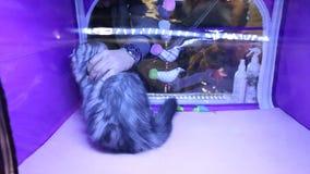 Kot wystawa, okrutni właściciela obcierania figlarki oczy, zwierzęcy nadużycie, piękny zwierzę domowe zbiory