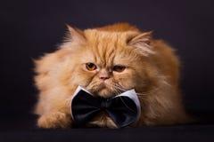 Kot z łęku krawatem Obraz Royalty Free