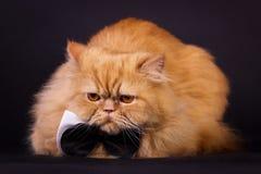Kot z łęku krawatem Zdjęcie Stock