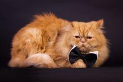 Kot z łęku krawatem Zdjęcia Stock