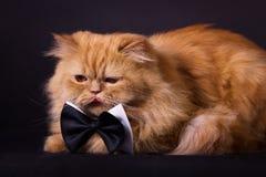 Kot z łęku krawatem Zdjęcia Royalty Free