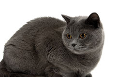Kot z żółtymi oczami zamyka up na białym tle Zdjęcie Royalty Free