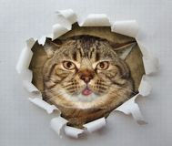 Kot z jęzorem 1 zdjęcie royalty free
