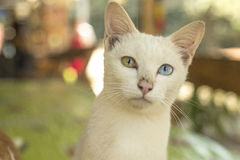 Kot z jeden niebieskim okiem fotografia stock