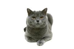 Kot z kolorów żółtych oczami odizolowywającymi na białym tle Obraz Stock