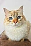 Kot z nieb niebieskimi oczami 2 zdjęcie stock