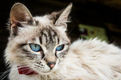 Kot z niebieskimi oczami Fotografia Royalty Free