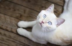 Kot z niebieskimi oczami na drewnianej podłoga obrazy royalty free