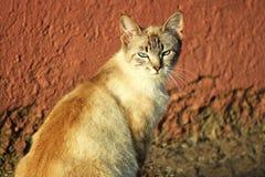 Kot z niebieskimi oczami w zmierzchu Obrazy Royalty Free