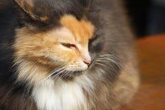 Kot z niezwykłym tricolor koloru zakończeniem Obrazy Stock