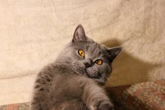 Kot z pięknymi oczami na kanapie obraz stock
