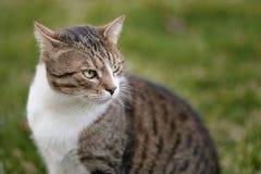 Kot z pięknymi oczami Obraz Royalty Free