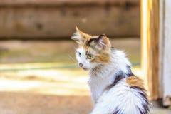 kot z różnymi oczami obraz stock