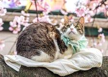 Kot z Sakura tłem obraz stock