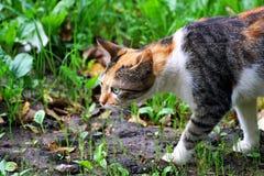 Kot z tricolor żakieta kolorem na polowaniu Fotografia Stock