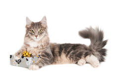 Kot z zawijającym prezentem Obraz Royalty Free