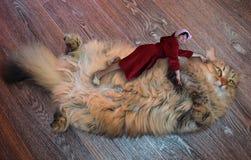 Kot, zwierzę, zwierzę domowe, figlarka, kot biały, śliczny, futerkowy, domowej roboty, kobieta w Bathrobe, portret, ssak, puszyst fotografia royalty free