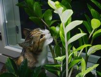 Kota łasowania houseplant aroid palma, zamioculcas fotografia royalty free