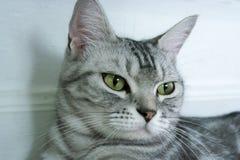 kota amerykański shorthair Obraz Royalty Free