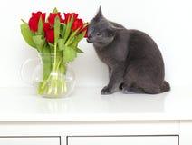 kota łasowania grey czerwieni tulipany Obraz Stock