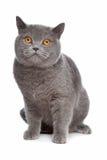 kota błękitny brytyjski shorthair Zdjęcia Royalty Free