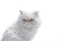 kota biel Zdjęcia Stock