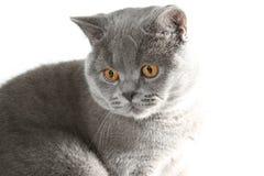 kota brytyjski grey Zdjęcie Royalty Free