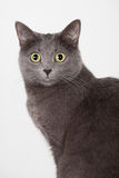 kota brytyjski grey obrazy stock