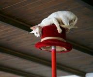 kota ceilin kapelusz robi wyczyn kaskaderski wierzchołkowi pod biały drewnem fotografia stock
