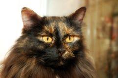 kota długi z włosami Zdjęcia Royalty Free