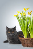 kota daffodils popielaty scottish Zdjęcie Stock