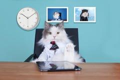 Kota duży szef w biurze Fotografia Royalty Free