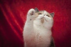 kota egzot Zdjęcie Stock