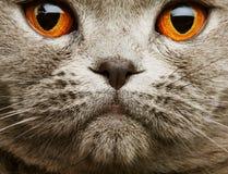 kota fałdu grey scotitish Obraz Royalty Free