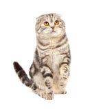 kota fałdu scottish Obraz Royalty Free
