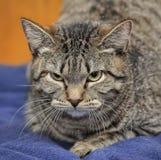 kota gniewny tabby Obrazy Royalty Free